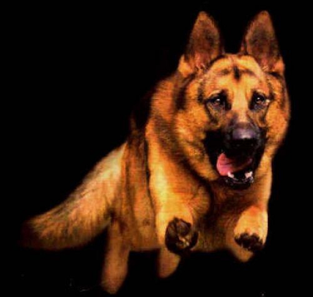Bite Force of an Alsatian