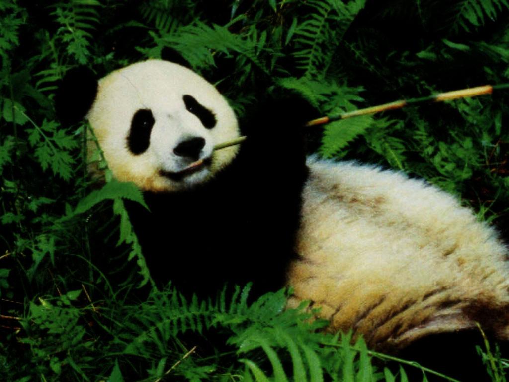 http://3.bp.blogspot.com/-1As803ttSrQ/TdSc6DftHDI/AAAAAAAAABU/uu50qZuG8sc/s1600/Lazy_Panda_Wallpaper_60fts.jpg