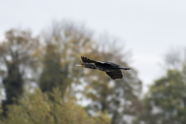 Cormorant in Flight over the patch