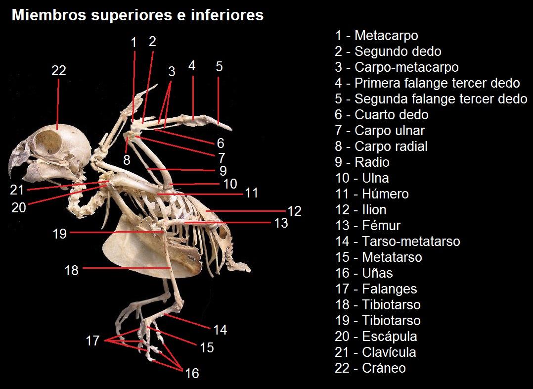 Esqueleto miembros superiores e inferiores - Loros en Argentina