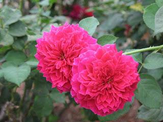 Mission rose