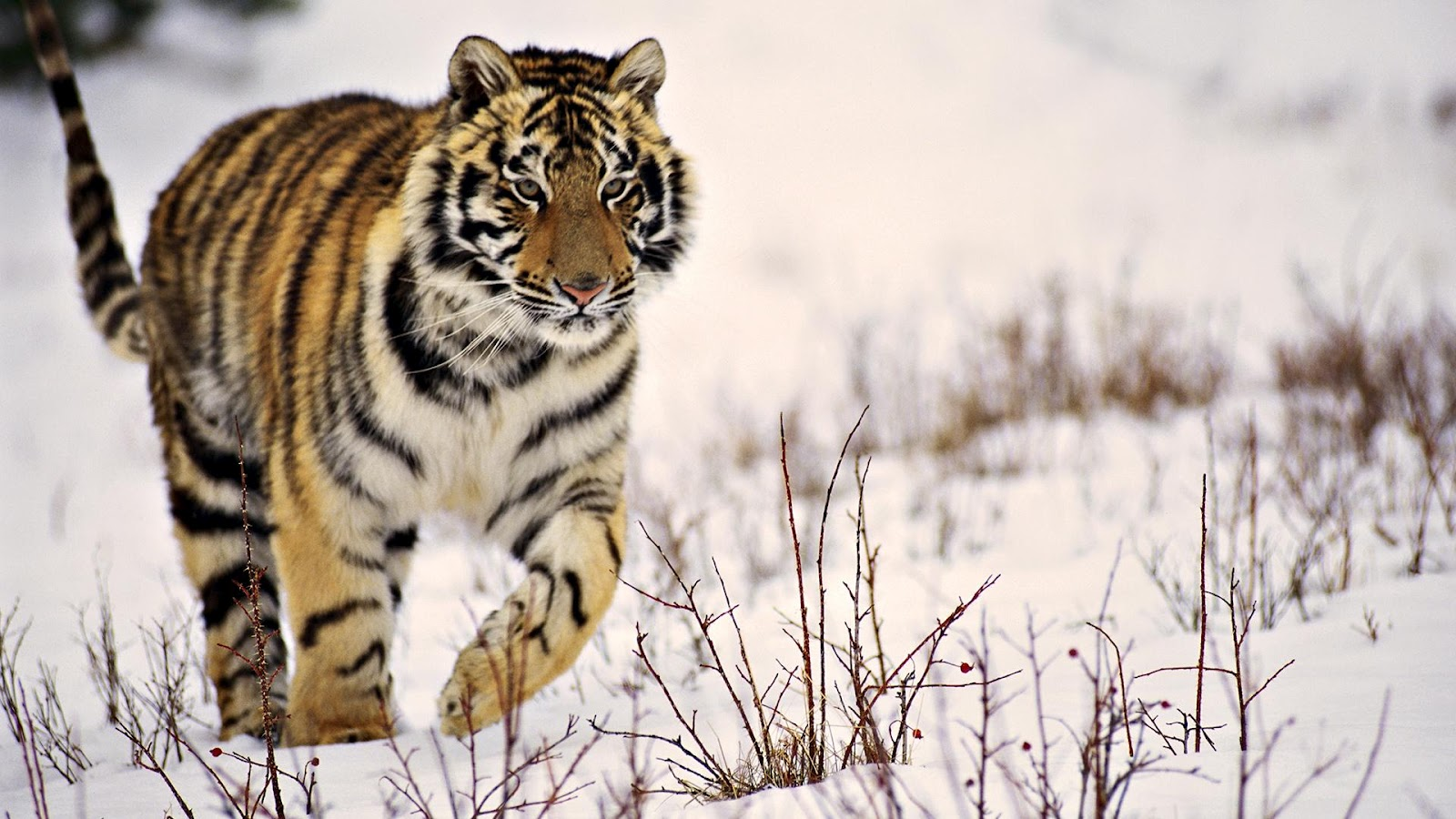 tiger wild snow - photo #1