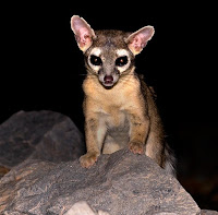 ringtail on rock