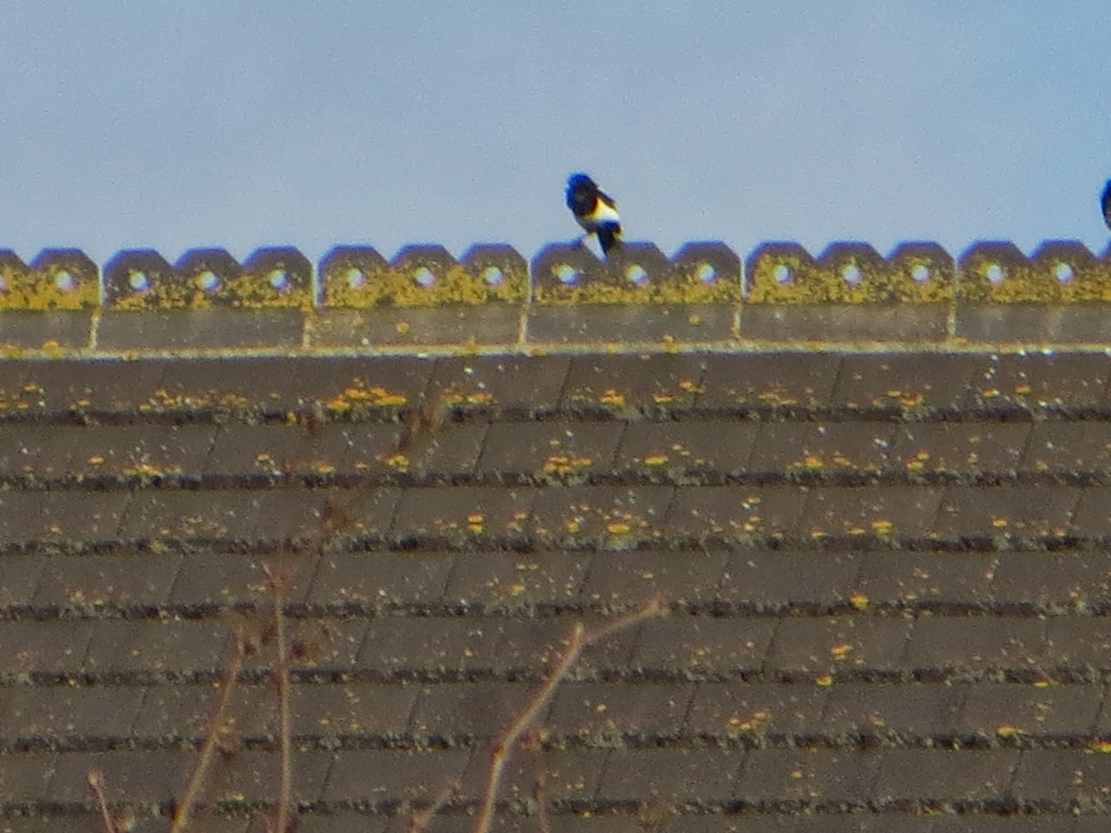 one magpie sitting sitting on a roof top.