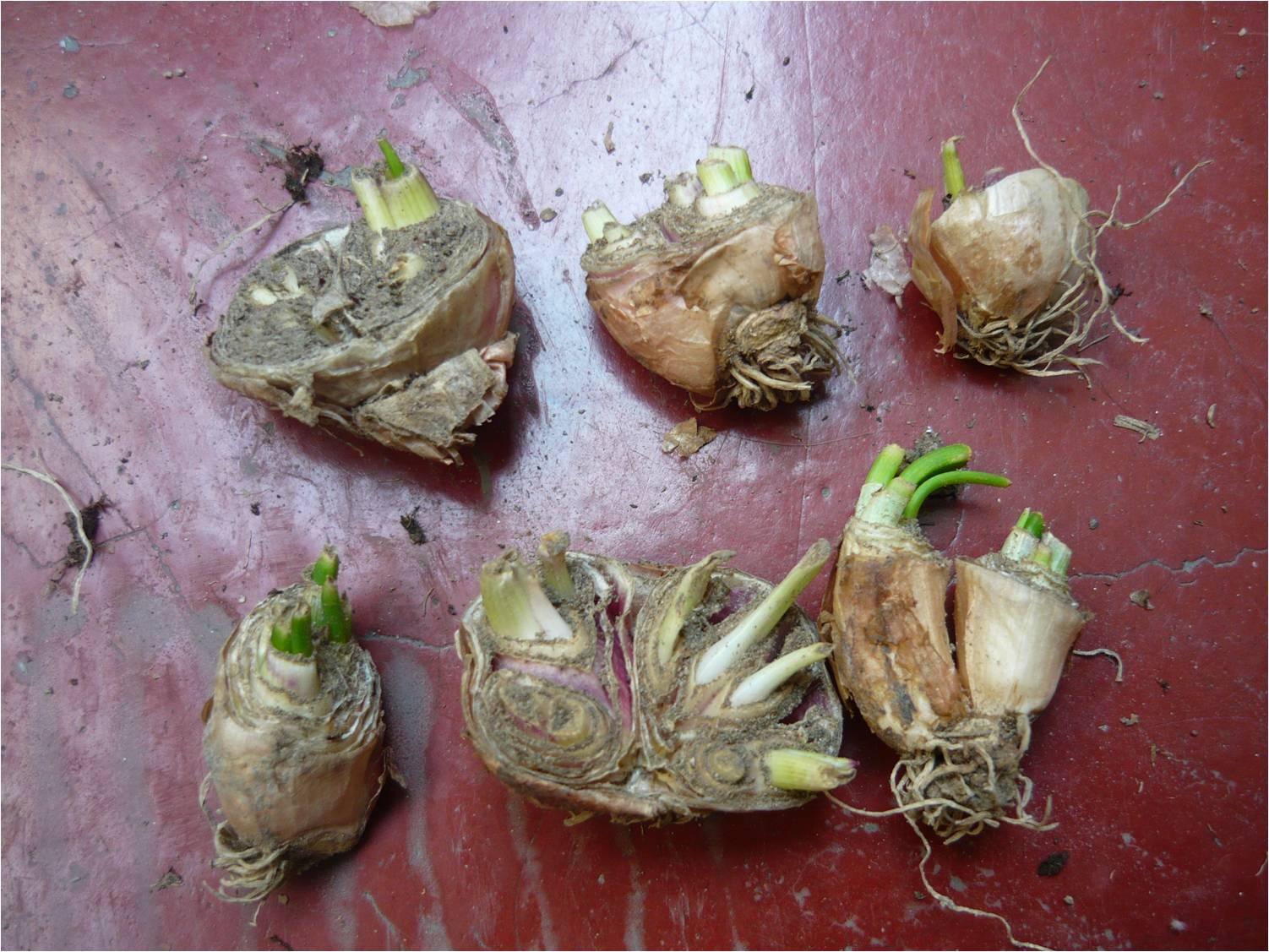 Alternativa ecol gica cultivo de cebolla china - Como plantar marihuana en casa paso a paso ...
