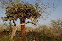 Optuntia Cactus on Pinta Island