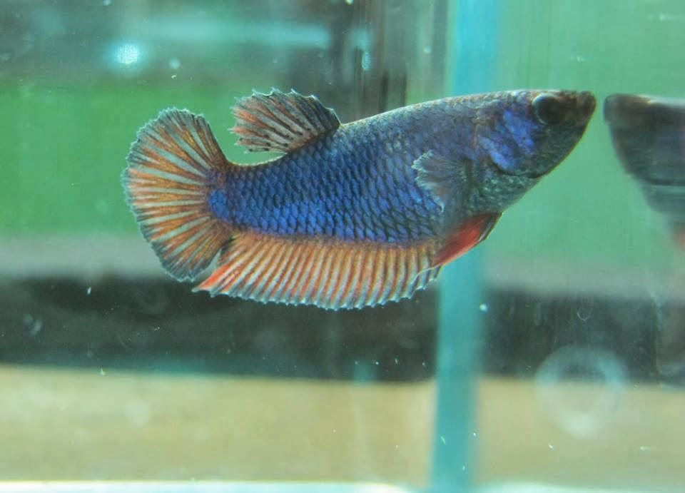 Dead betta fish pictures to pin on pinterest pinsdaddy for How much are betta fish at petco
