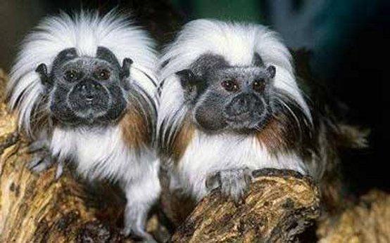 Amici di chicca le scimmie piu 39 piccole del mondo al for Scimmie piccole domestiche