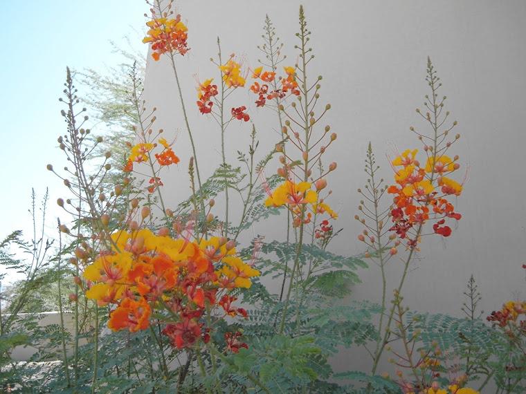 Caesalpinia pulcherrima, West Exposure
