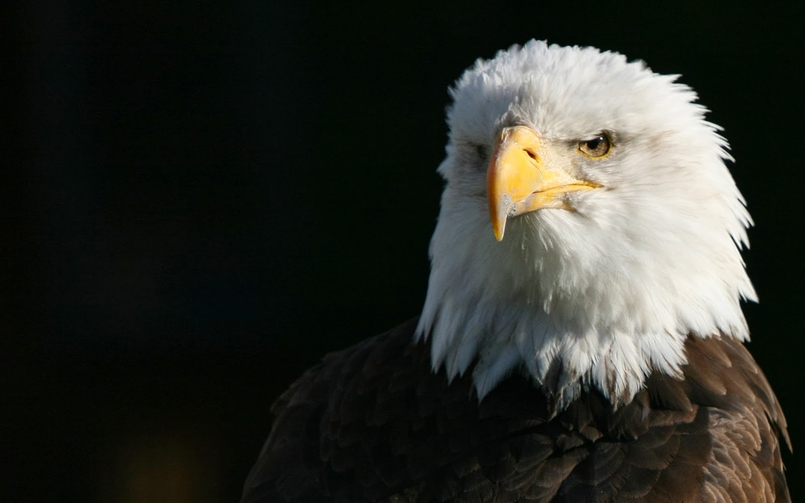 desktop hd wallpapers free downloads: bald eagles hd wallpapers