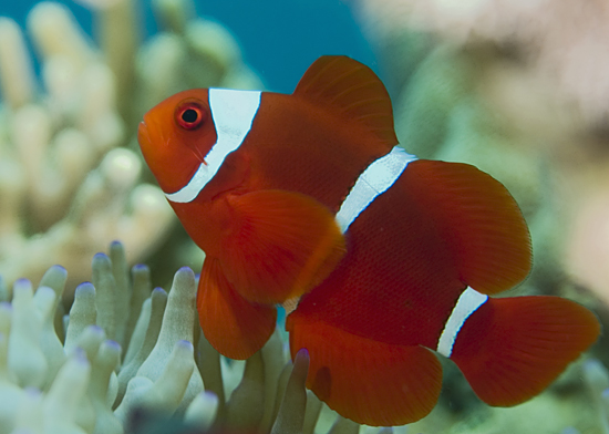Life of clownfish life of sea for Clown fish care