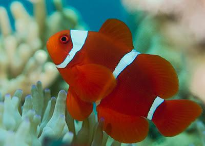Life of clownfish life of sea for What do clown fish eat