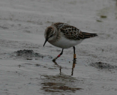 Little Stint feeding - Dave Crawshaw