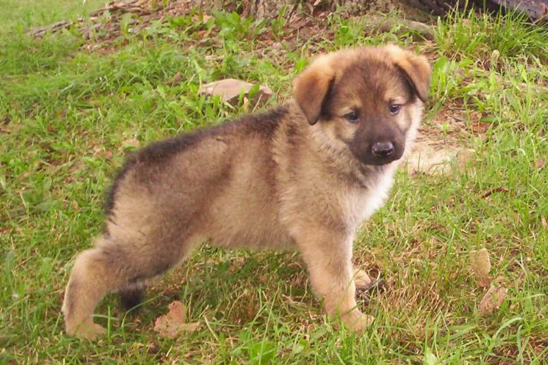 Dog Breed | Dog Breeds | Dog Pictures: German Shepherd Puppy 2013