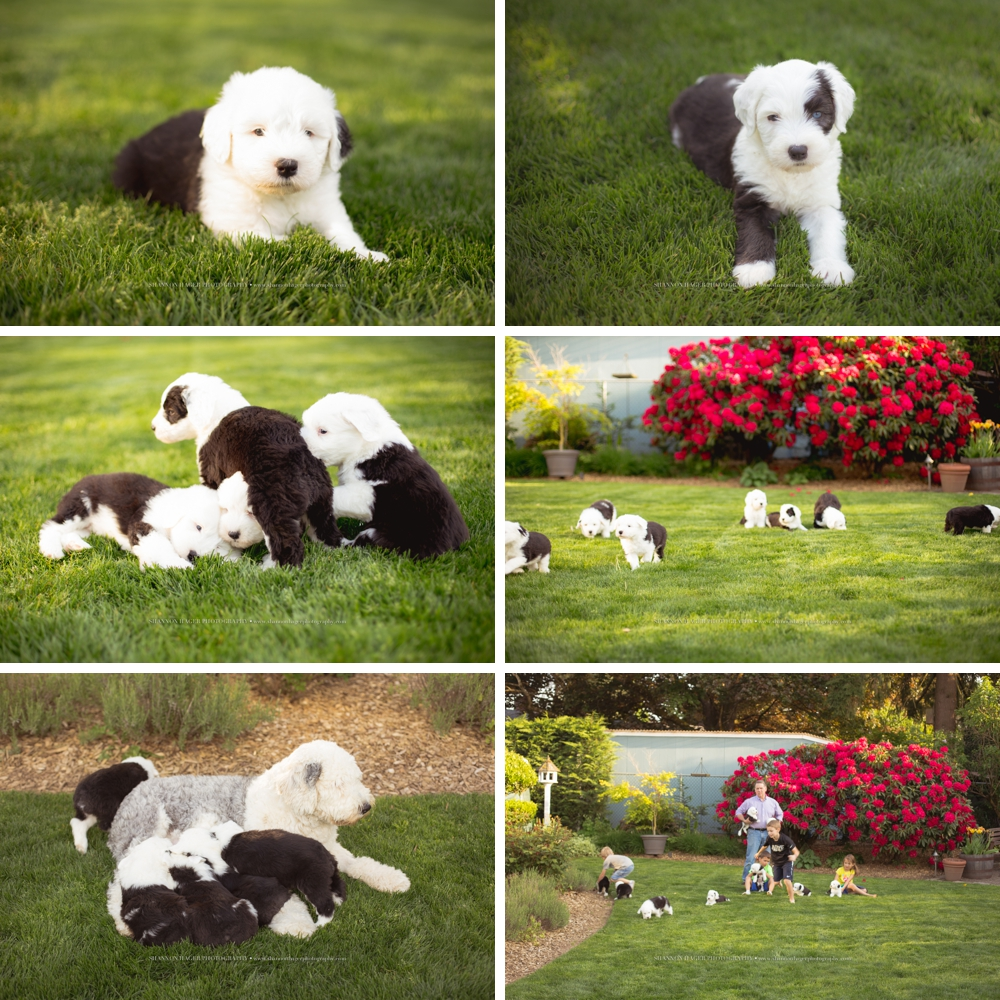 old english sheepdog puppies, snowdowne, oes puppies, oes breeder, portland dog photographer