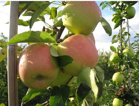 bodur elma fidanları