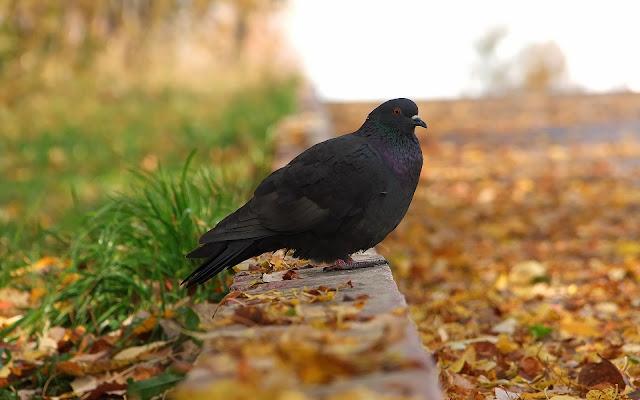 Black Pigeon Bird Wallpaper