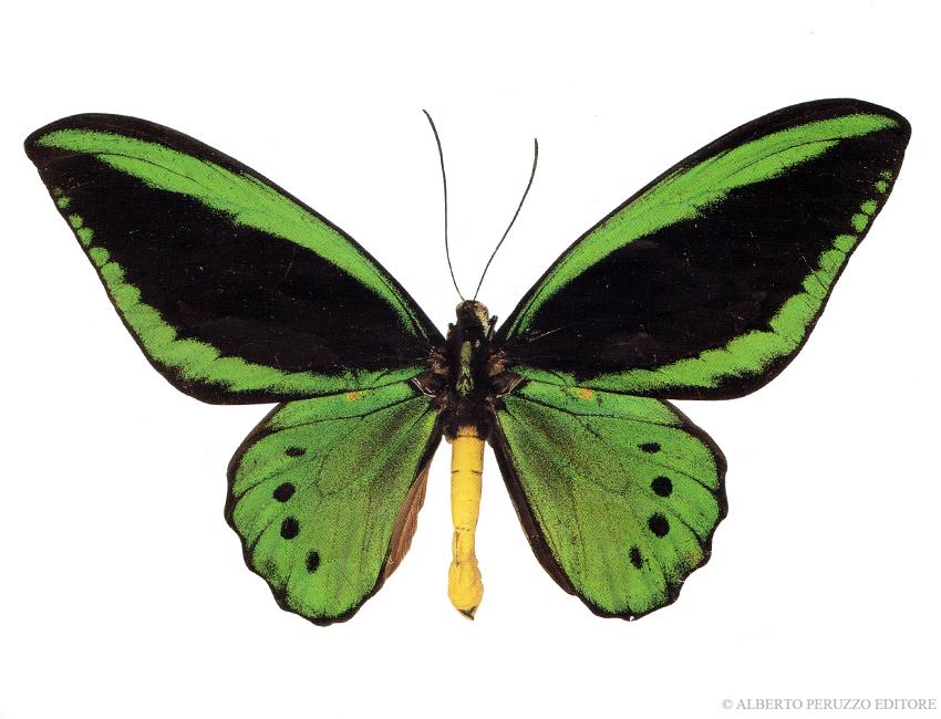 Universo dei lepidotteri 44 ornithoptera priamus - Colorazione dei bruchi ...