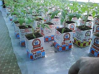 рассада помидоров на лоджии