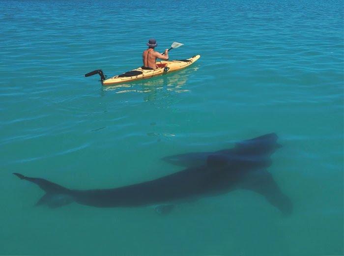 http://3.bp.blogspot.com/-1ELk-vXgBLE/TZdlDyQS4JI/AAAAAAAAAGU/qZArG1Vo6Do/s1600/yak_shark.jpg