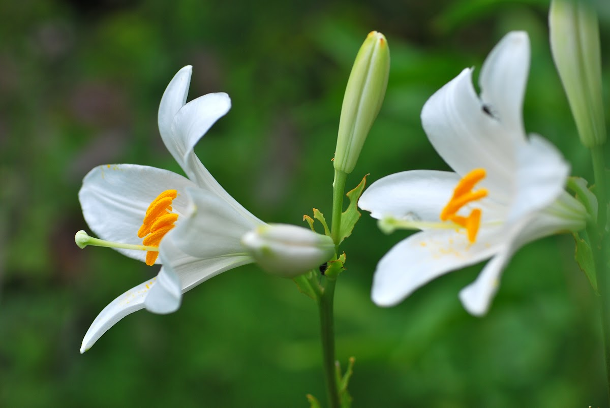 flowers for flower lovers Madonna lily flowers