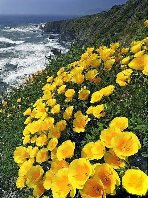 California Poppies in Mendocino County