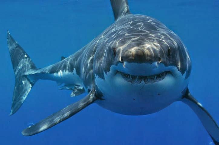 Foto de tiburon blanco