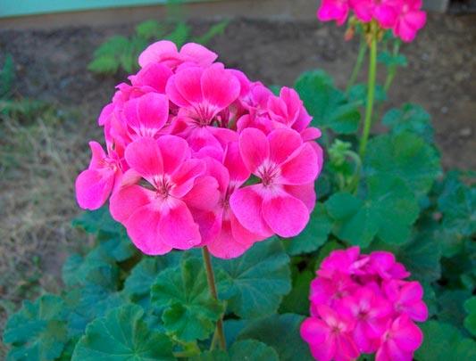 Patricia l pez dise o floral flores de los geranios consejos for Una planta ornamental