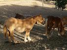 Cavalls a la finca Perenoguera