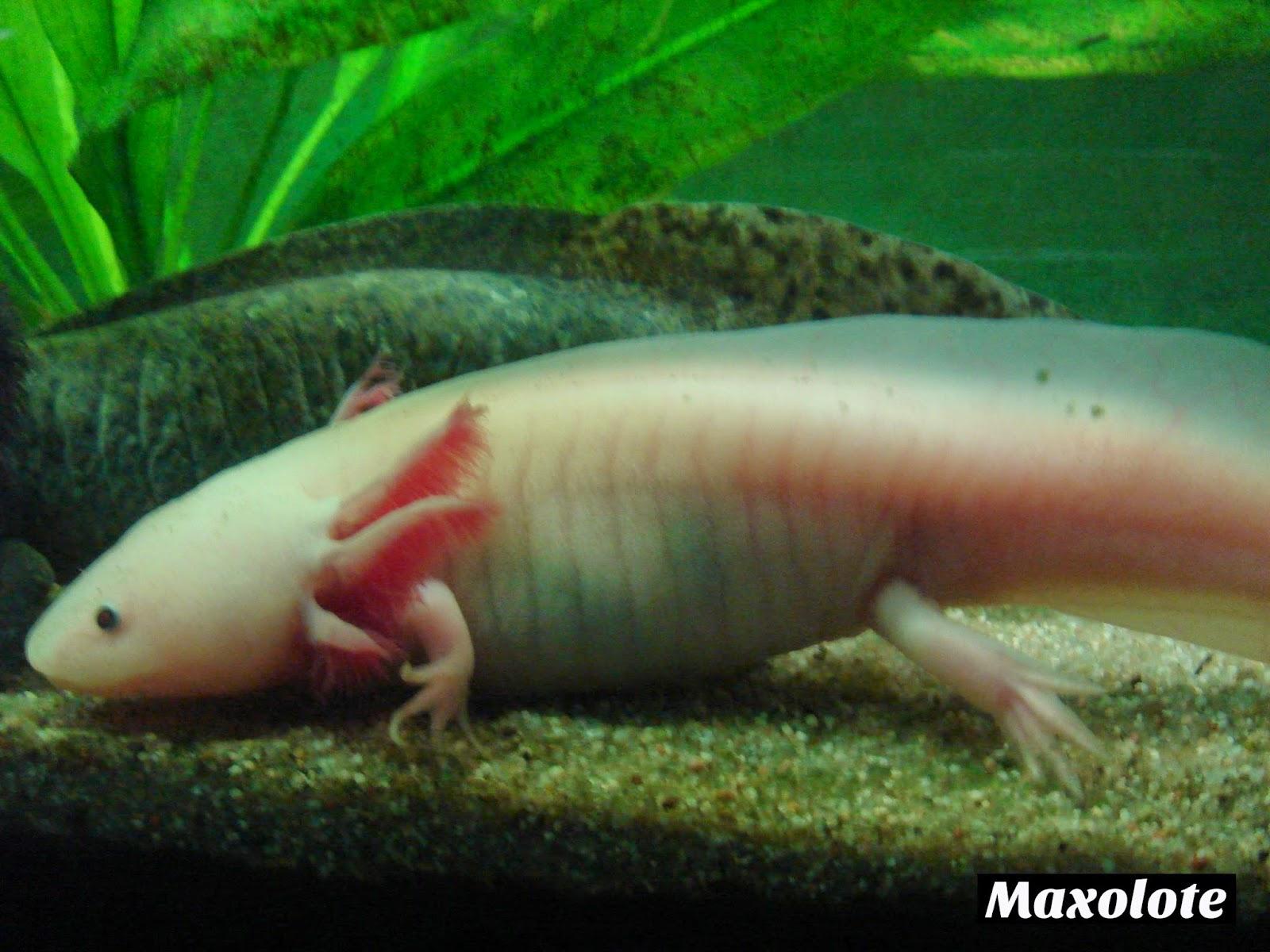 Axolotes reproduccion asexual de las plantas