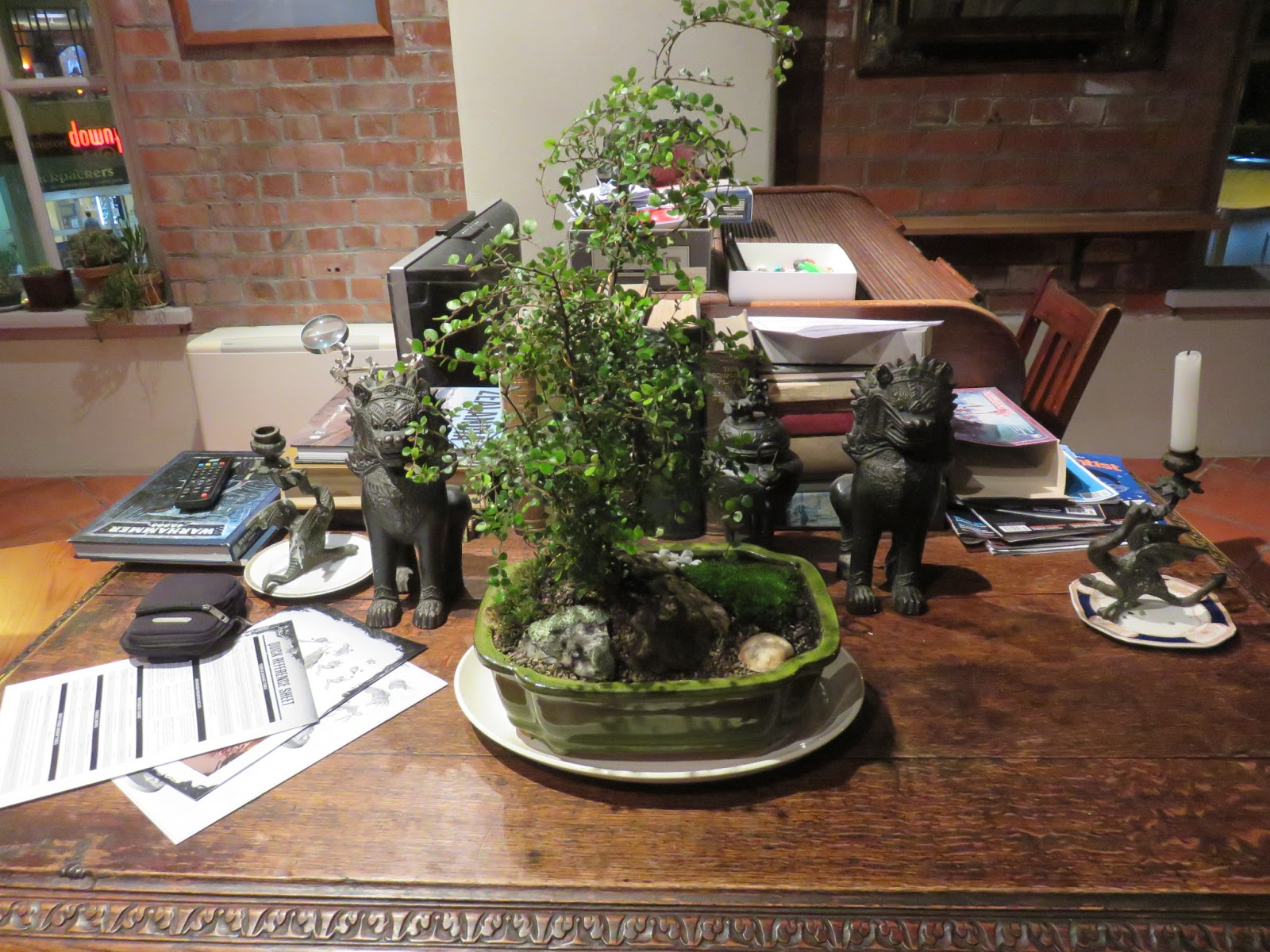 Nothofagus Bonsai