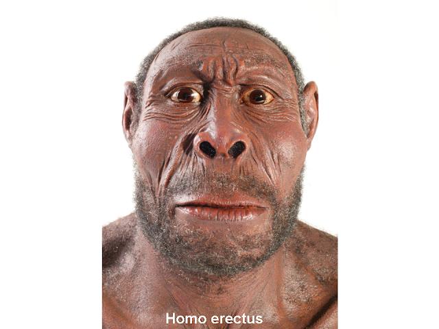 homo erectus rekonstrukció