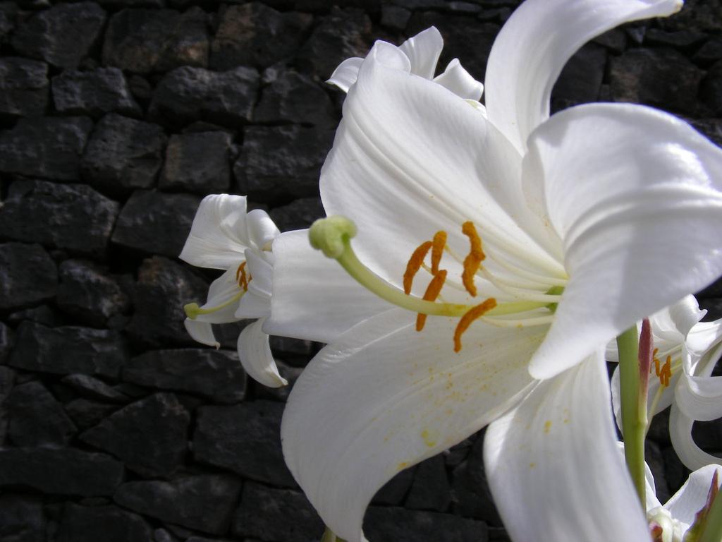 http://3.bp.blogspot.com/-1FsvHS3D5GU/UFhVaT3JoBI/AAAAAAAAAmA/BOKz3BOqGLw/s1600/Lily_Flower_Wallpapers_1.jpg