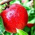 The Health Benefits of Apple Fruit for Cancer and Beauty