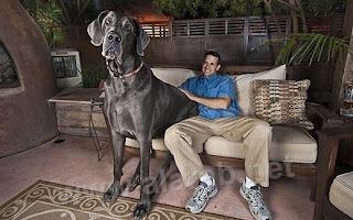 جورج العملاق أضخم كلب في العالم