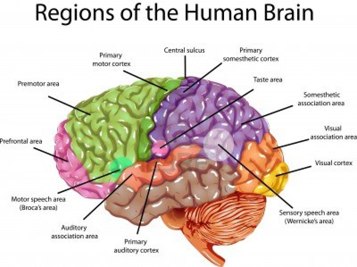 PSICOFISIOLOGIA: LA DIFERENCIA DEL CEREBRO HUMANO Y ANIMAL