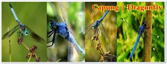 Dragonfly, Capung, Bulus, Tete Iyek, Capung Badak Kecil Biru | Pacapaku