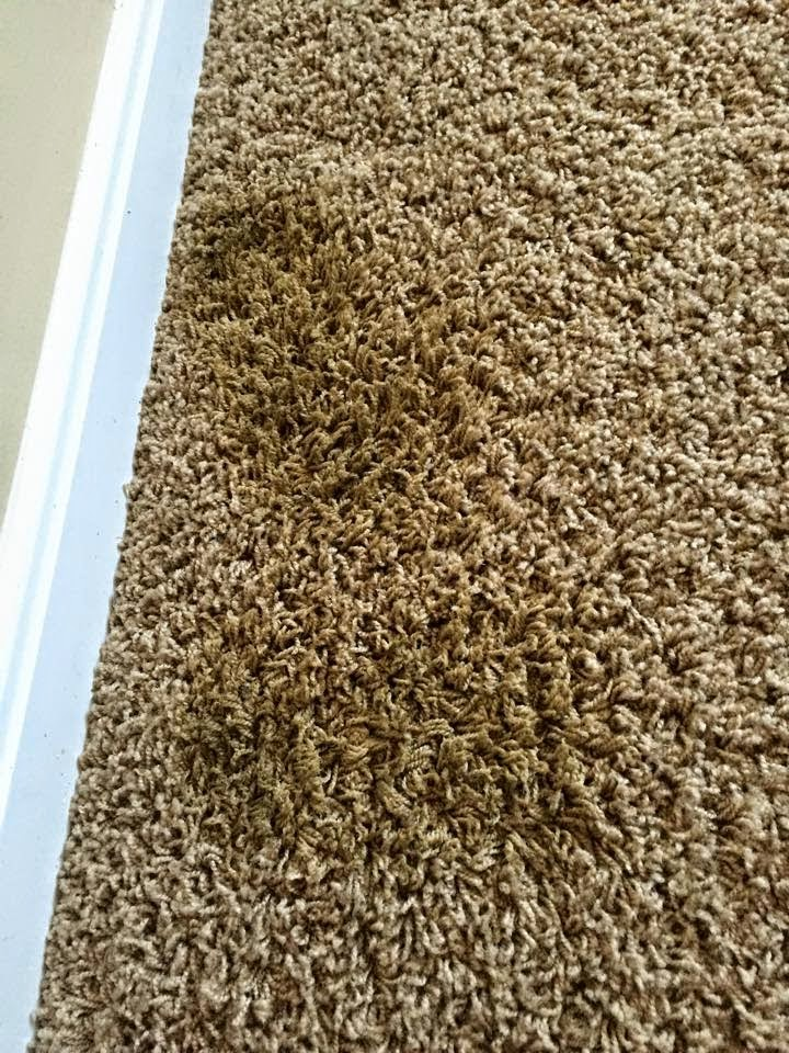 Remove old urine stains in carpet