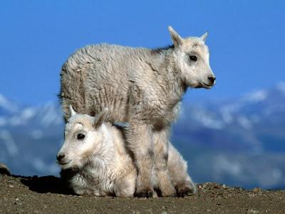 Cute Sheep Babies Normal Desktop Backgrounds,Stills,Wallpapers