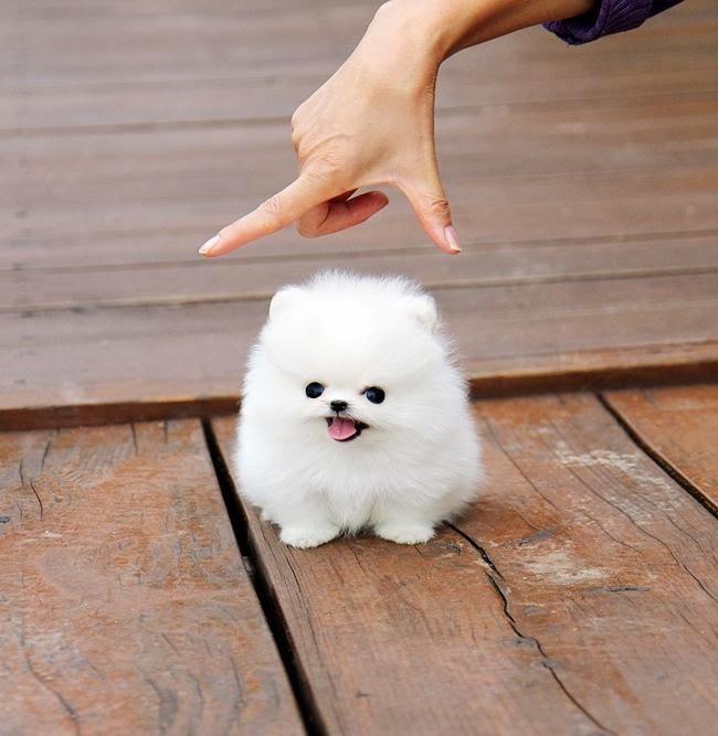 Cute dogs - part 7 (50 pics), cute little fluffy puppy