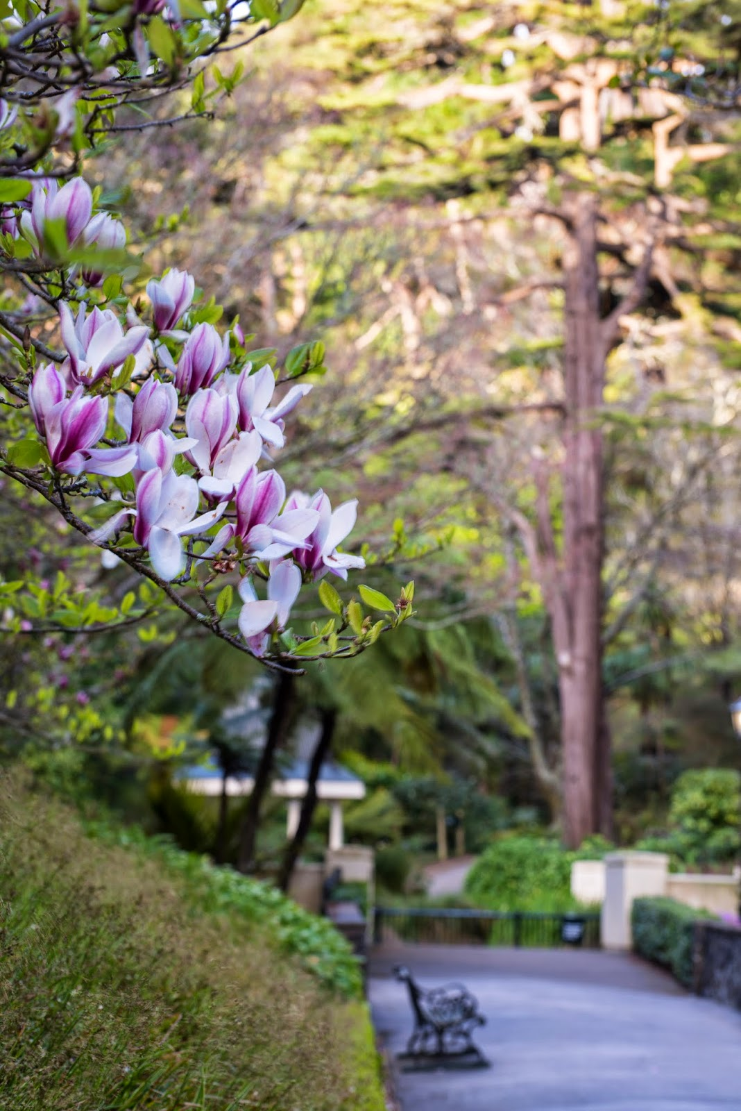 magnolia in bloom at wellingtong gardens