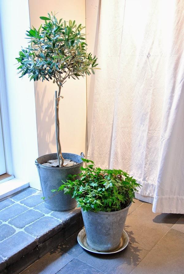 olivträd i zinkhink murgröna