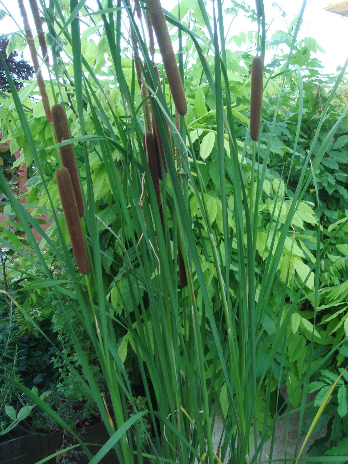 Il giardino delle naiadi piante palustri for Piante palustri laghetto