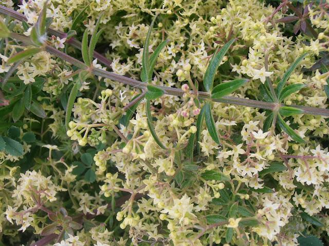 Flores y hojas de RUBIA: Rubia peregrina