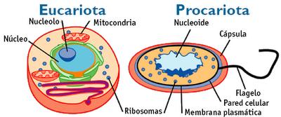 Resultado de imagen de celulas procariota y eucariota