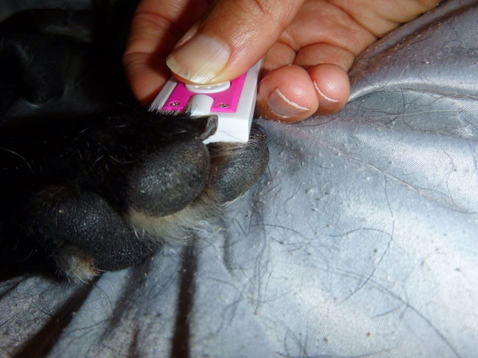 Pet Education Nail Trims. Part 12. Finding the Quick.