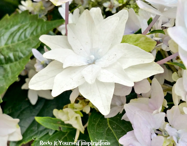 White Shooting Stars Hydrangea Flower Photo