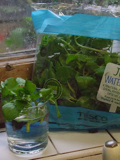 Sprouting watercress from a supermarket bag