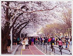 Spring Flower Festivals in Korea and crowd