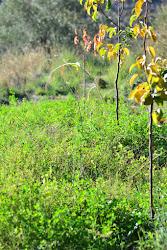 Cereales y alfalfa bajo frutales -nashis y paraguayos